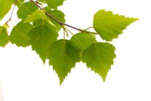 березовые листья на белом фоне