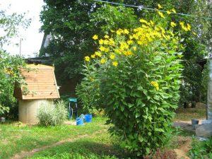 как растет и цветет топинамбур