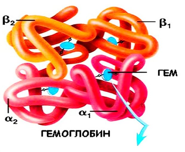 Гемоглобин молекула