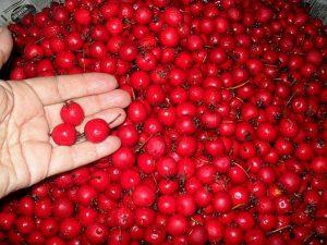 собранные ягоды боярышника