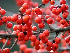ягоды красной рябины