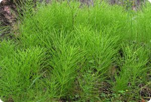 трава хвоща полевого