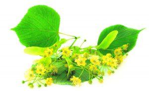 цветки и листья липы на белом фоне