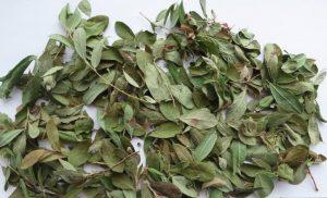 сушеные листья толокнянки для отваров при гипертонии