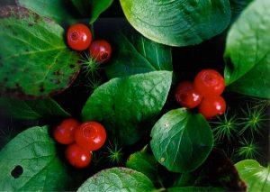 ягоды и листья вакцинума превосходного