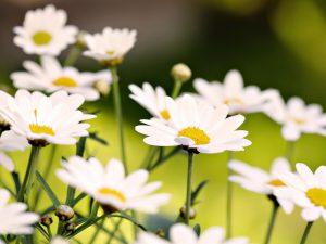 цветение ромашки