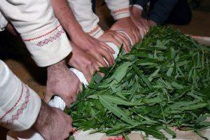 процесс заготовки листьев иван-чая