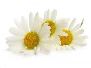 цветки ромашки на белом фоне