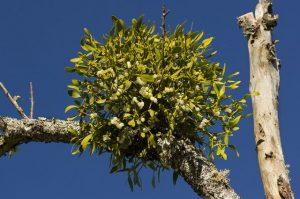 омела белая на дереве-доноре
