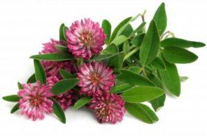 цветки и листья клевера лугового