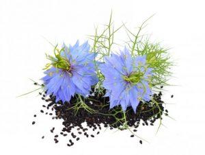 семена римского кориандра, чернушки посевной