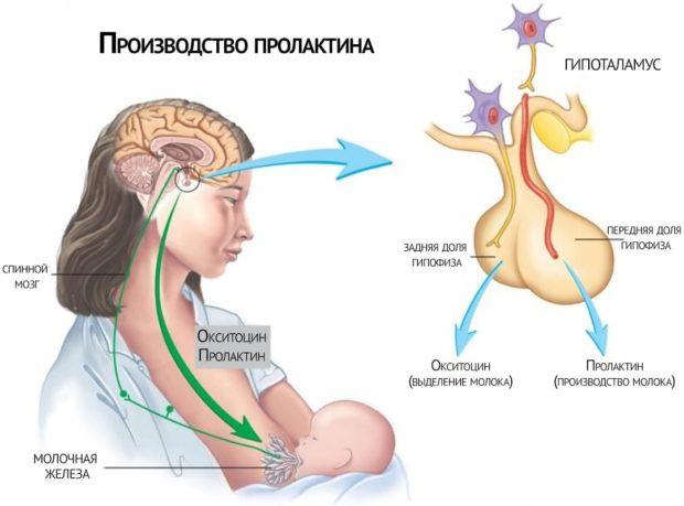 Производство пролактина в организме женщины