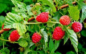 листья и ягоды малины