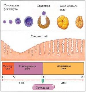 желтое тело в левом яичнике что это такое