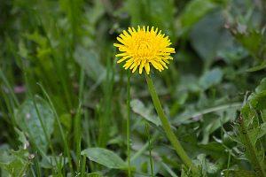 желтый цветок одуванчика
