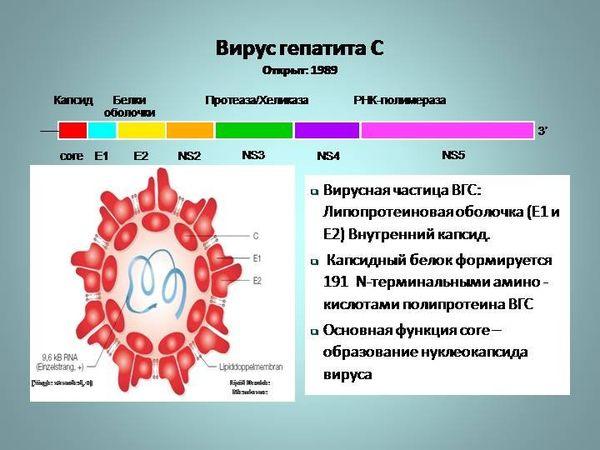 Строение вируса гепатита