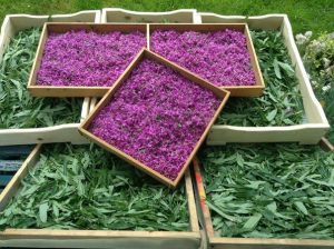 сушение цветков и листьев иван-чая